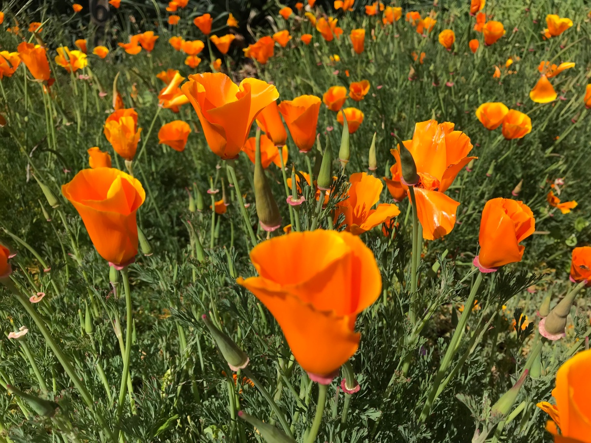 California Poppies Are Popping Up Robynrominger
